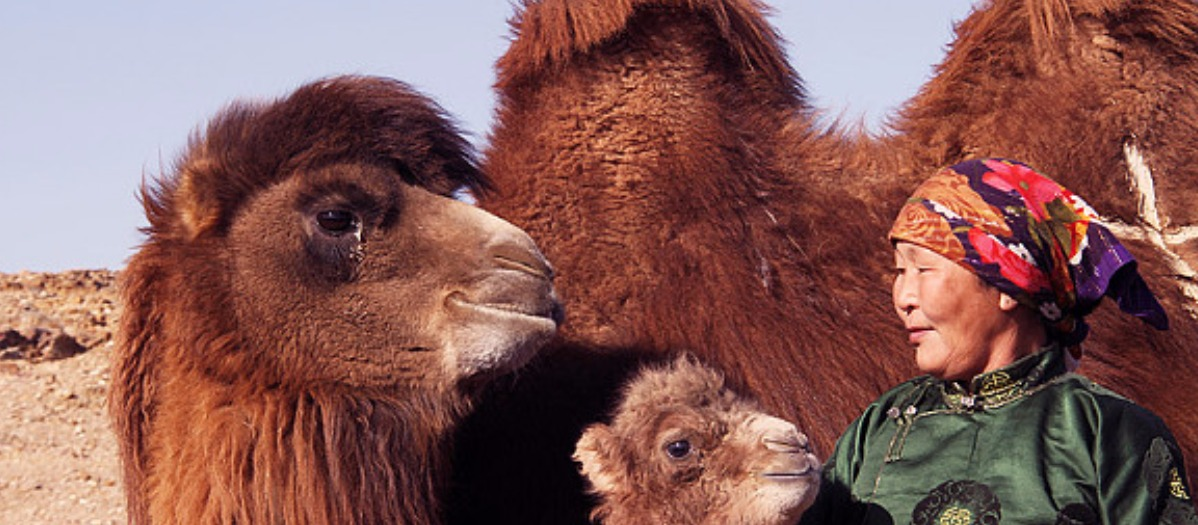 The True Story of the Weeping Camel