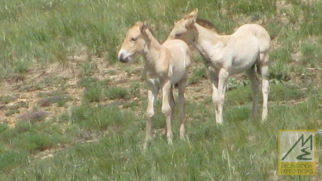 Foal of Takhi horse